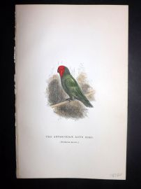 C. W. Gedney 1888 Antique Hand Col Bird Print. Abyssinian Love Bird